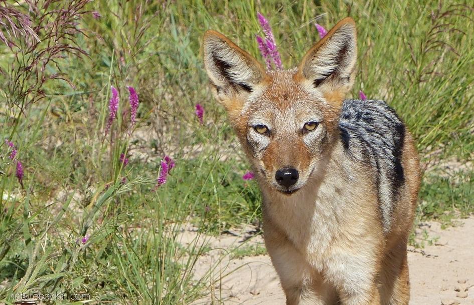 Black-backed jackal, Mabuasehube, Botswana
