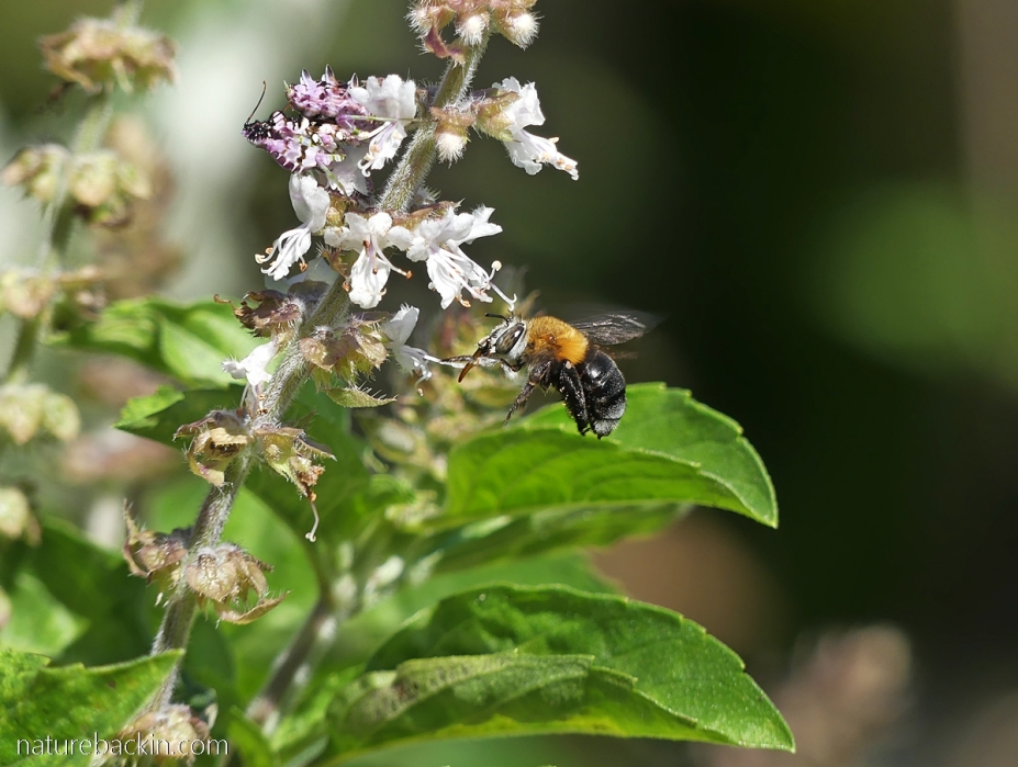 Small carpenter bee visiting flowers with spiny flower mantid nearby