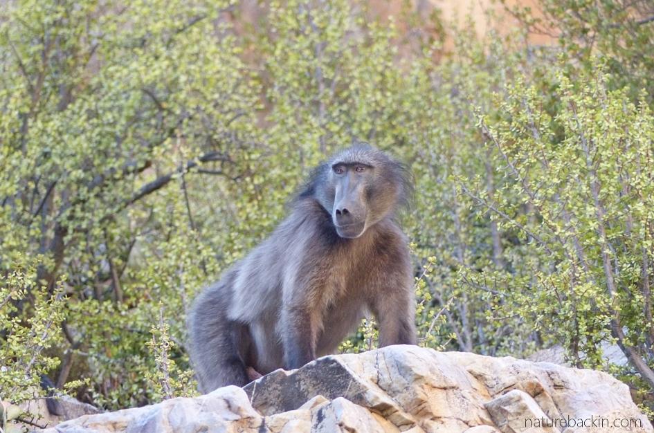 Male baboon as troop lookout, Gamkaberg Nature Reserve, South Africa