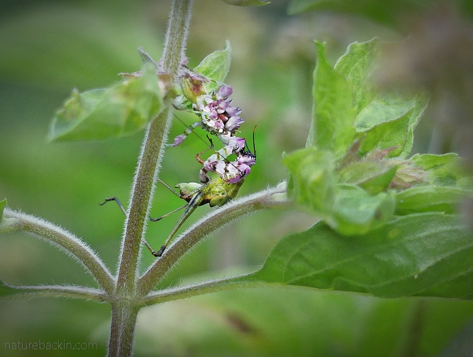 Spiny flower mantid eating a katydid