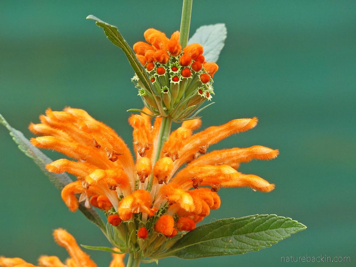 Wild dagga flowers, South Africa