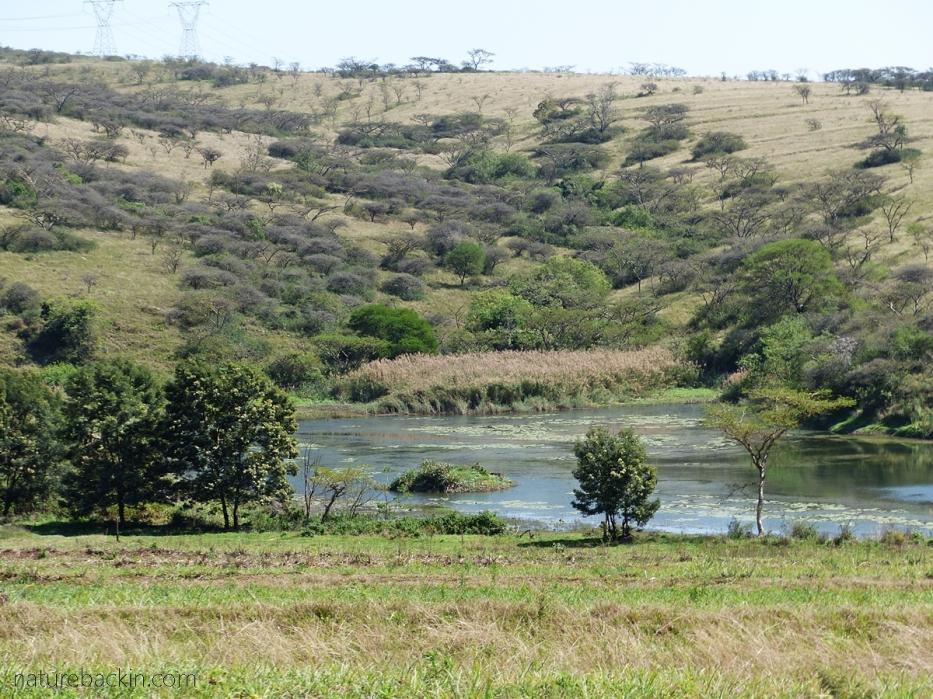 A small farm dam in thornveld, KZN