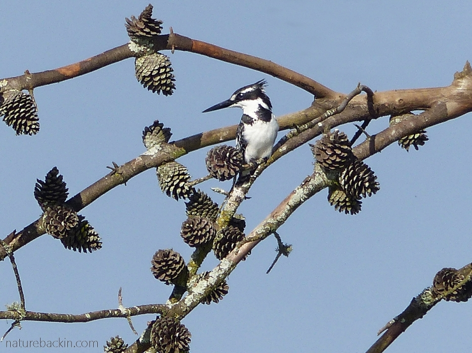 Pied Kingfisher hunting from a dead pine tree, KZN