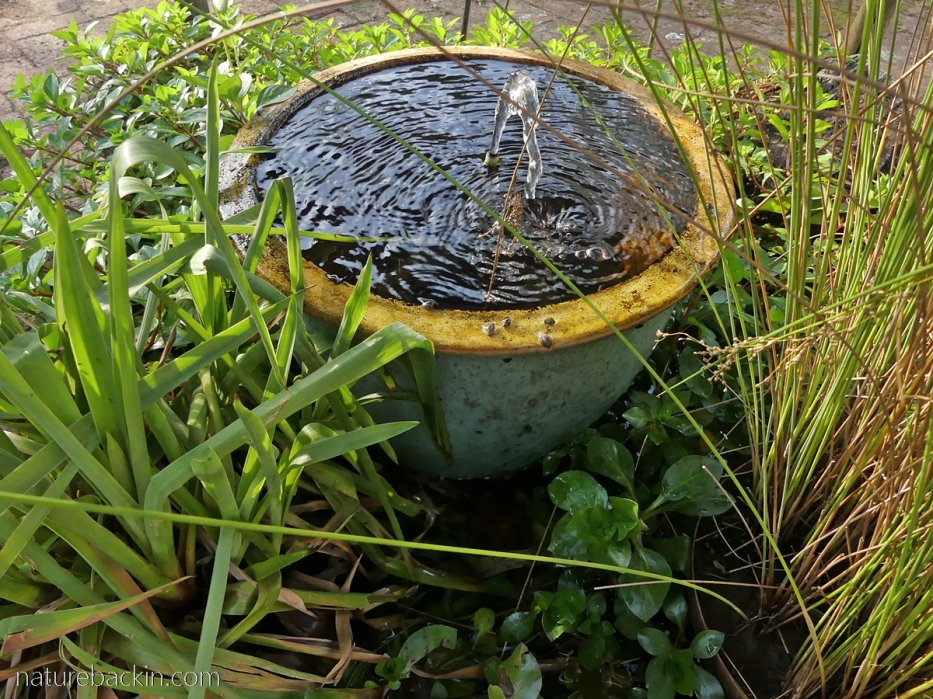 Small garden water feature with freshwater snails