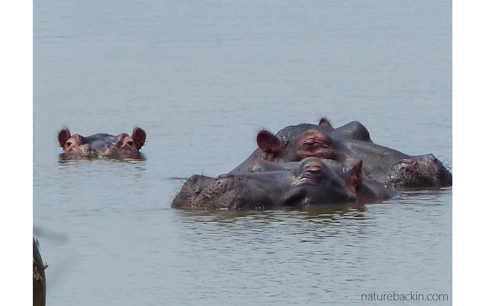 Hippos in the water at Nsumo Pan, Mkhuze Game Reserve, KwaZulu-Natal