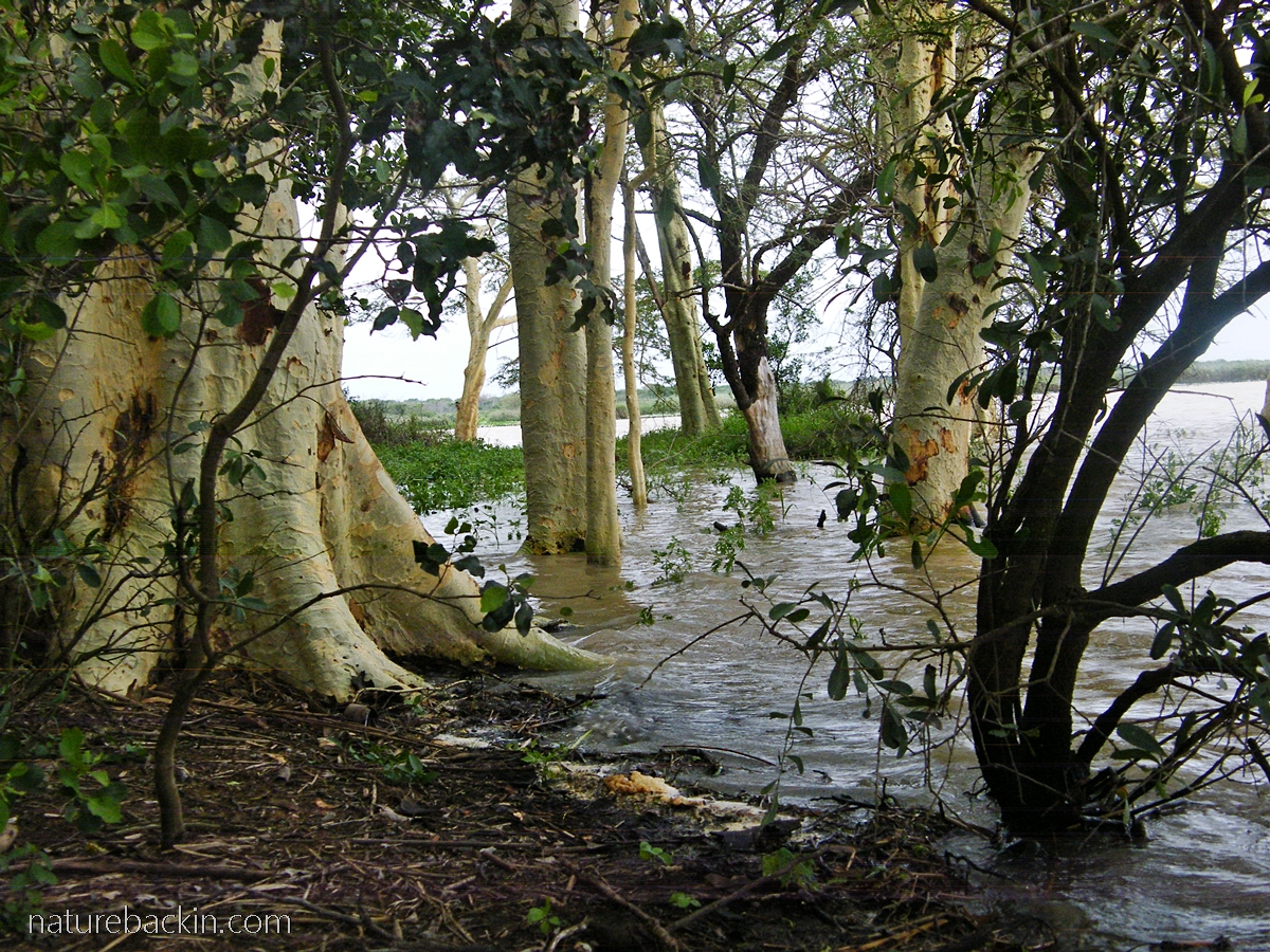 Fever trees standing in water on the edge of Nsumo Pan,