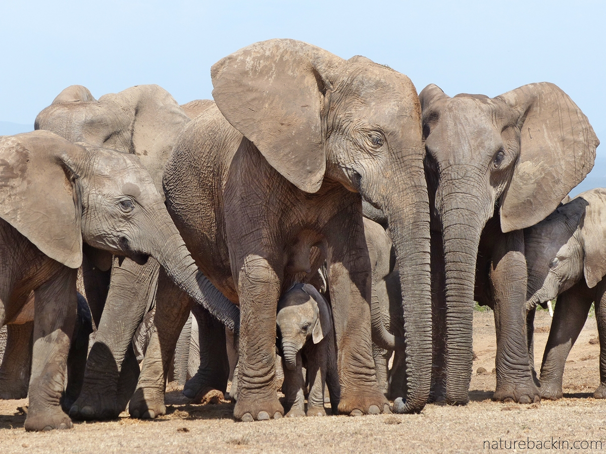Elephant family group at Addo Elephant National Park, South Africa