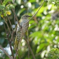 Black cuckooshrike – named for the unicoloured male, this is the female