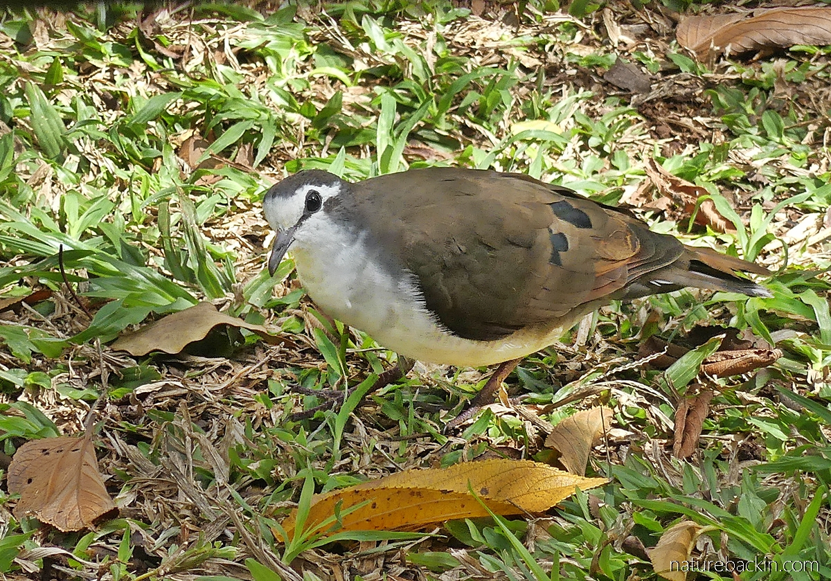 A tambourine dove foraging on the ground in a suburban garden in KwaZulu-Natal