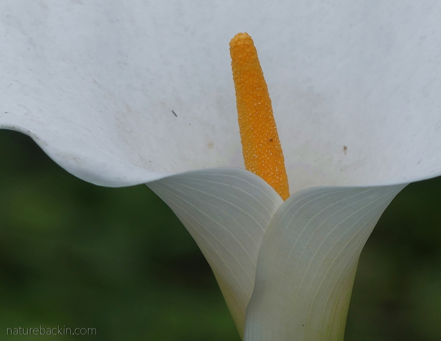 Arum lily or calla lily in flower, South Africa