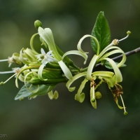 The wild Honeysuckle-tree flowering abundantly