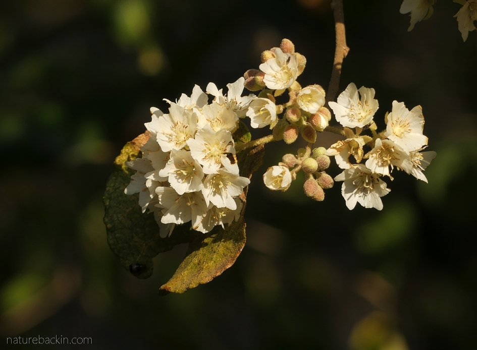 Wild pear in flower, South Africa