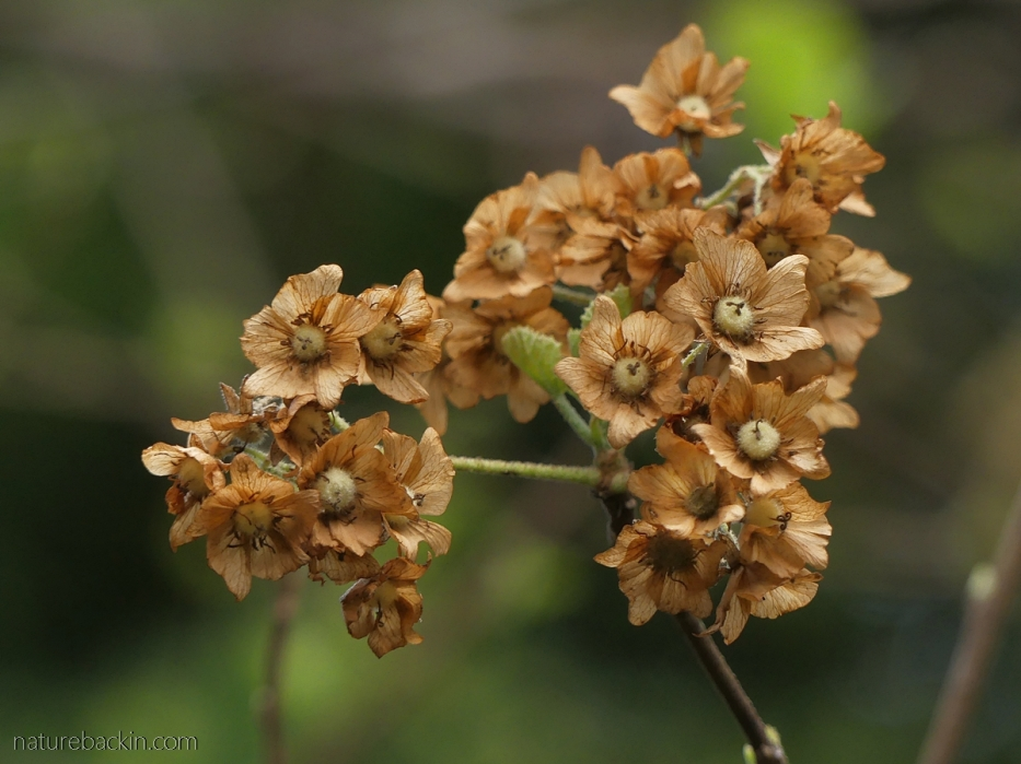 Dried flowers on wild pear, South Africa