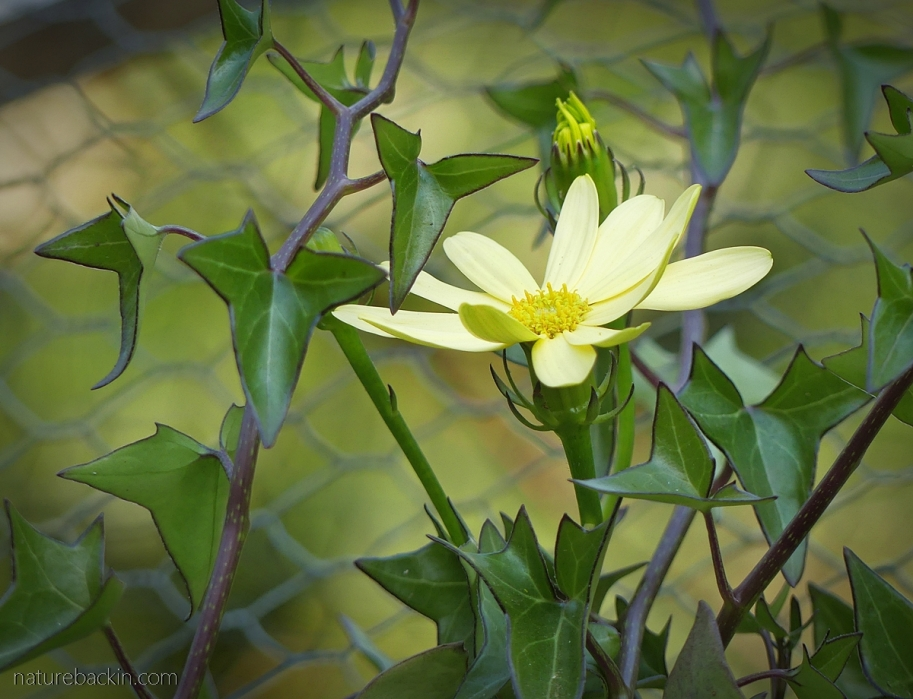 Flowering ivy (Natal ivy) in flower, South Africa