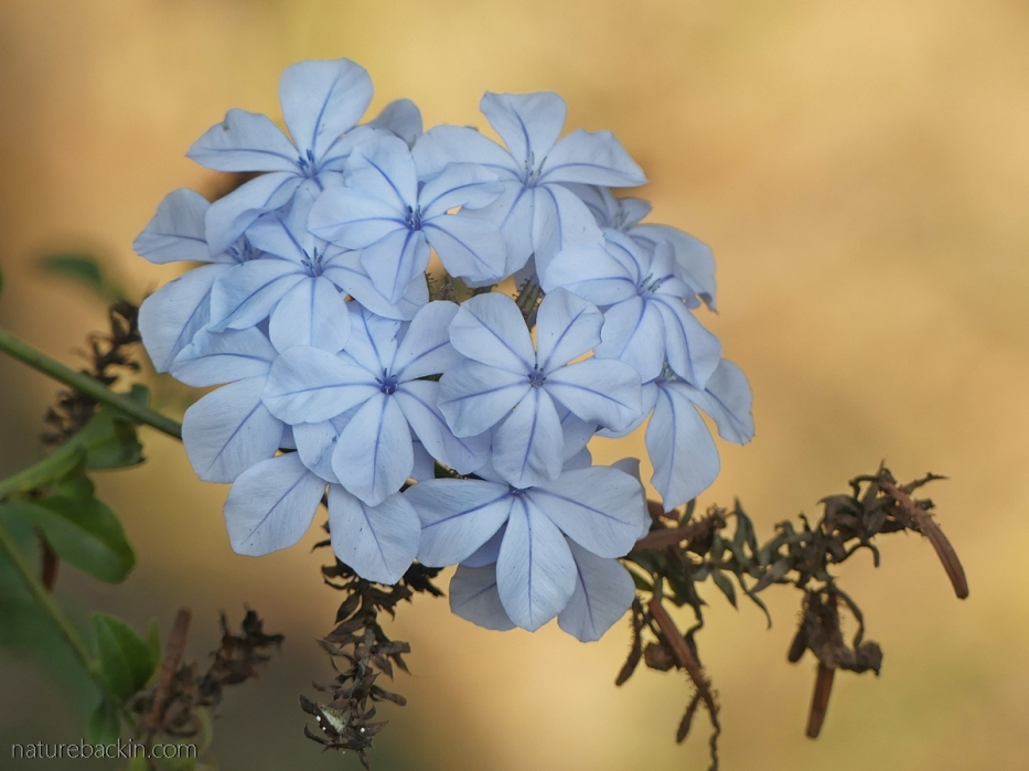 Plumbago in flower, South Africa