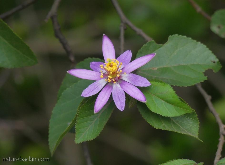 Cross-berry flower (Grewia occidentalis), South Africa